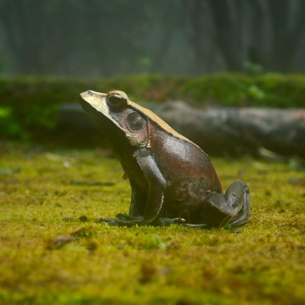 bicoloredfrog