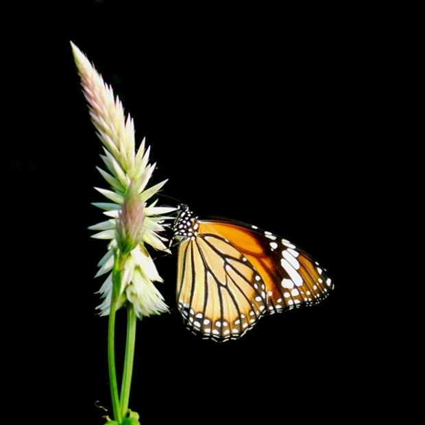 striped_tiger_butterfly.jpg