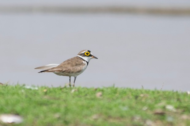 LittleRingedPlover