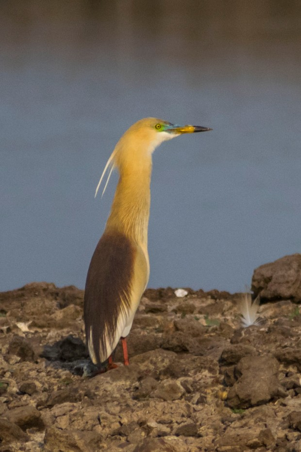 Pond_Heron_Breeding